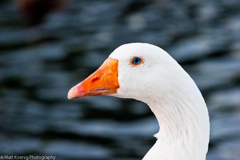Blue Eyed Goose