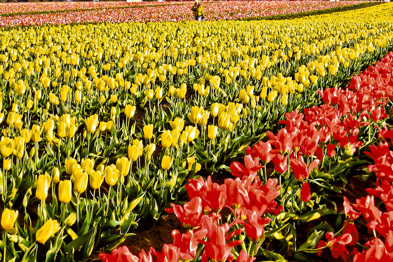 Tulip Field by Zachary Koenig