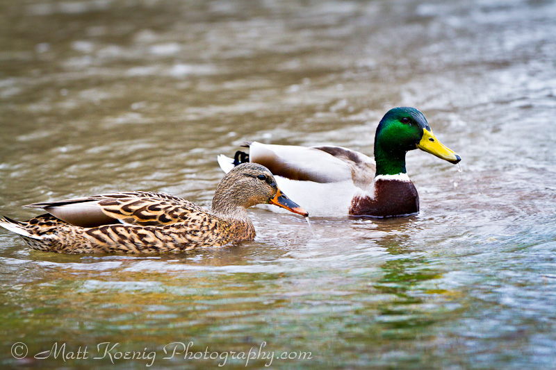 Two ducks floating the floods at Alton Baker Park