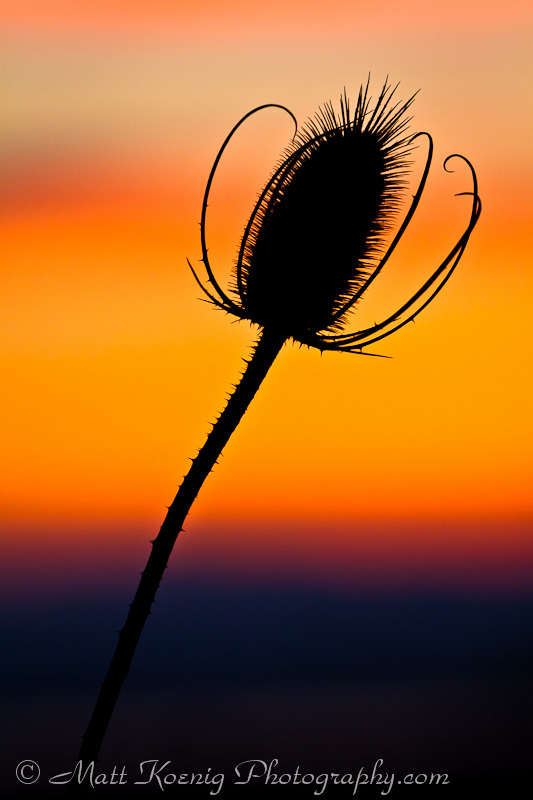 Teasel silhouetted against the sunset