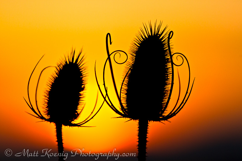 Teasel at Sunset