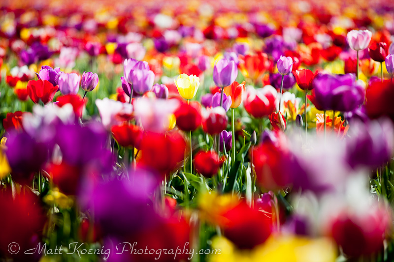 Fields of blooming tulips
