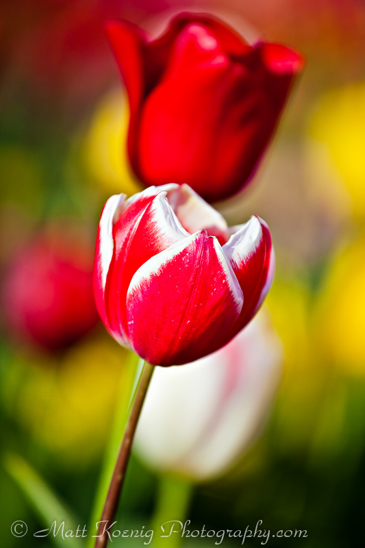 Blooming tulips at the Wooden Shoe Tulip Festival