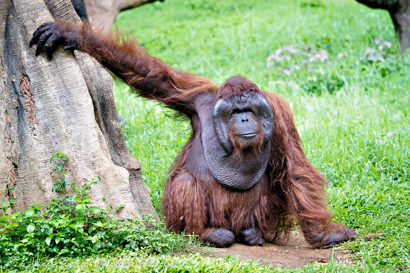 Orangutan Taman Safari Bogor Indonesia
