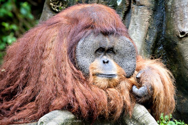 Orangutan GTaman Safari Bogor Indonesia